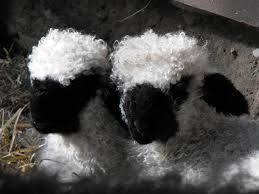 2 Sheep with Black Faces